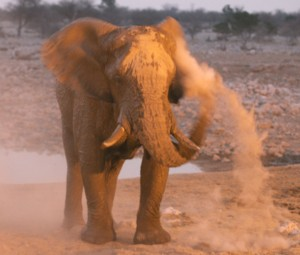 African elephant enjoying a dust bath, photo by Holly Ganz