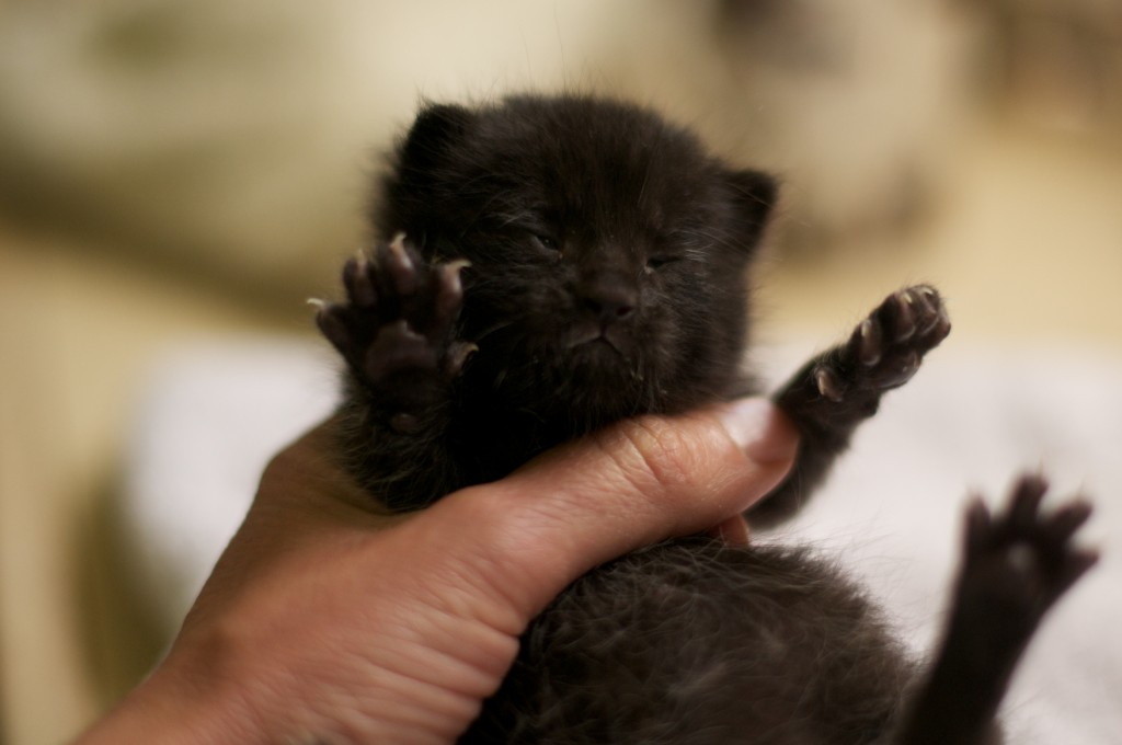 A ten day old orphan kitten (he's a domestic long hair cat, even though he looks a bit like a badger).