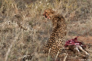 Cheetah feeding on a carcass in Okonjima, Namibia.