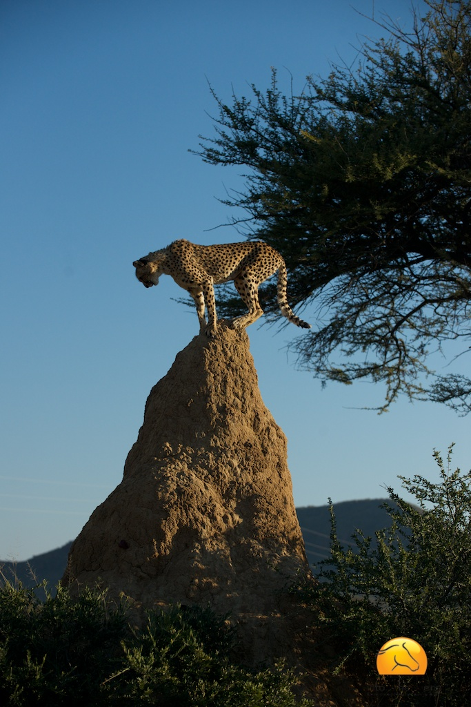 Cheetahs like to stand on termite mounds. Photo by Simon Palmer.