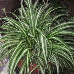 Chlorophytum comosum - Source: Wikipedia