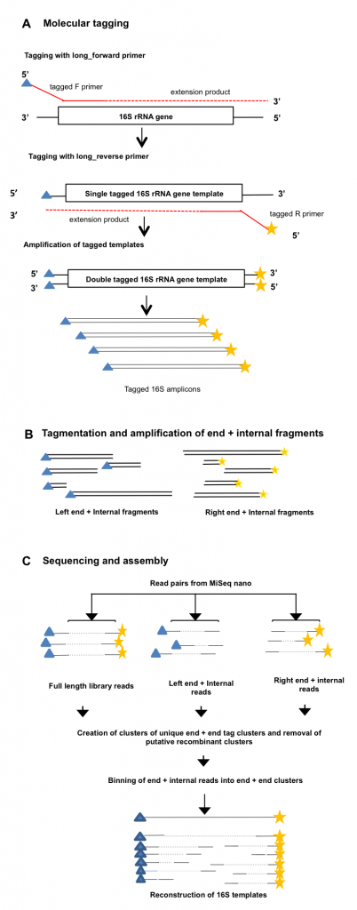 Figure 1: Overview of the Long-Read Method a) 16S rRNA gene template molecules are tagged with unique tags via two single rounds of annealing and extension with tagged forward and reverse primers, that also contain Illumina adapter sequences. After removal of tagged primers, tagged templates are amplified via PCR using primers complementary to the adapter sequences. Libraries from one or more samples can then be pooled and sequenced on the MiSeq. Blue triangles and yellow starsindicate random tags of 10bp. b) Full-length 16S amplicon Illumina libraries are tagmented using the standard Nextera method, and two pools of products are amplified, which contain either the left end of the tagged amplicons and an internal region, or the right end of the amplicon and an internal region. This procedure adds Nextera adapters for sequencing at the internal end of the fragments. c) Both full length and tagmented libraries are paired end sequenced, and the unique molecular tags are used to computationally cluster sequences from the same progenitor 16S rRNA gene molecule for assembly of full length sequences.