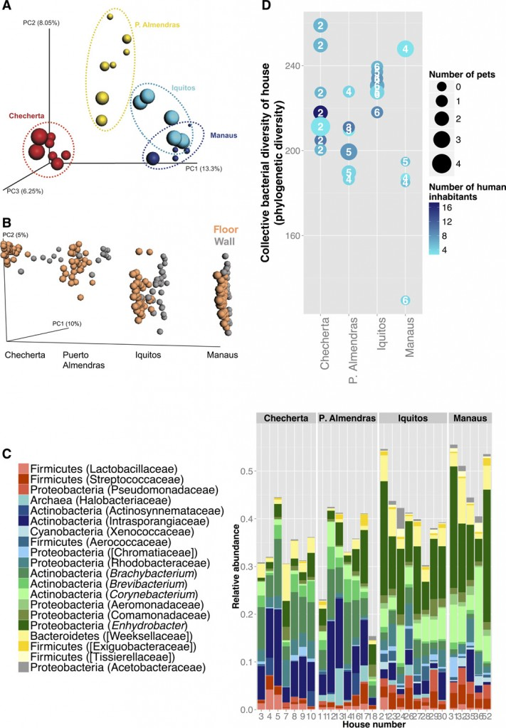 Fig. 2 Microbial community structure in houses differs significantly across the urbanization gradient. Seven sites that were common to all houses (living room, bedroom, kitchen floors, beds, chair handles, countertops, and living room walls) were collapsed into one sample to obtain a total measure of diversity for each home. (A) Principal coordinates analysis (PCoA) of the seven collapsed samples for each home shows tight clustering of the samples by community (P 250). (B) PCoA plot of unweighted UniFrac distances of wall and floor bacterial communities by village. Floor samples are clustered very tightly in the jungle community, but not wall samples. This indicates that floor microbial communities resemble more to each other than wall samples. This clustering of floor samples decreases with urbanization, and microbial communities of walls and floors merge in urban locations, meaning that urban locations have similar microbes on the walls and floors, whereas in rural locations, floors have very different microbial communities. (C) Top 20 feature taxa of high relative abundance (>0.1%) that allowed for correct prediction of a sample's source community; these include taxa commonly associated with humans (for example, Streptococcaceae, Lactobacillaceae, and Pseudomonadaceae) (shown in red hues) and taxa commonly associated with the environment (for example, Intrasporangiaceae and Rhodobacteraceae) (shown in blue hues). Taxa shown in the literature to be associated with both the environment and the human body are shown in green hues. (D) Distribution of the collective α diversity (PD) of each home, colored by the number of human inhabitants residing in the home. Numbers inside the points indicate the number of different material types that are represented by the seven samples, and the size corresponds to the total number of pets in the home (dog, cat, monkey, chicken, turtle, or parrot).