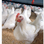 Broiler chickens, Wikipedia