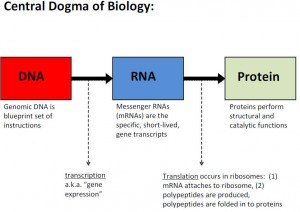 Peccia slide - Central dogma of biology