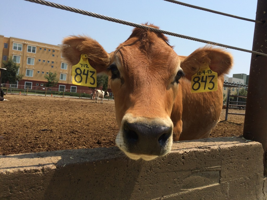 We have dairy cows on campus at UC Davis.