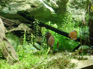 """Aquarium tropical - Discus"". Licensed under Creative Commons Attribution-Share Alike 3.0 via Wikimedia Commons"