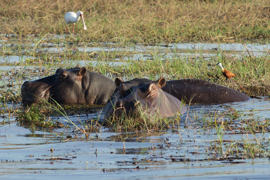Hippos and spoonbills forage along the Chobe River. Photo by Holly H. Ganz.