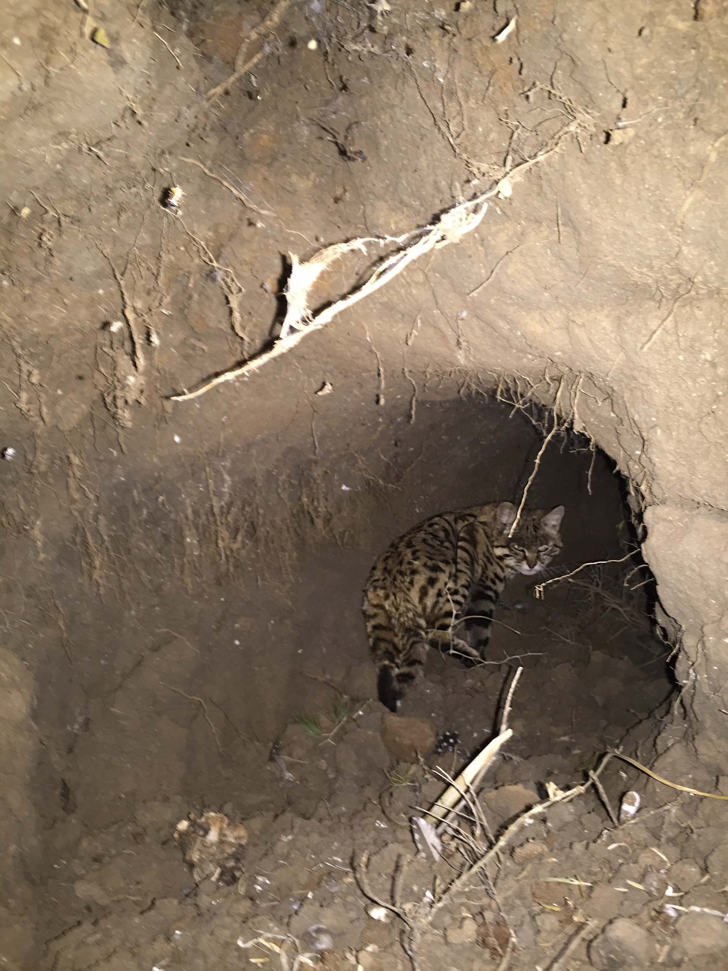 Black-footed cat staying cool below ground on a hot summer day. Photo by Beryl Wilson.