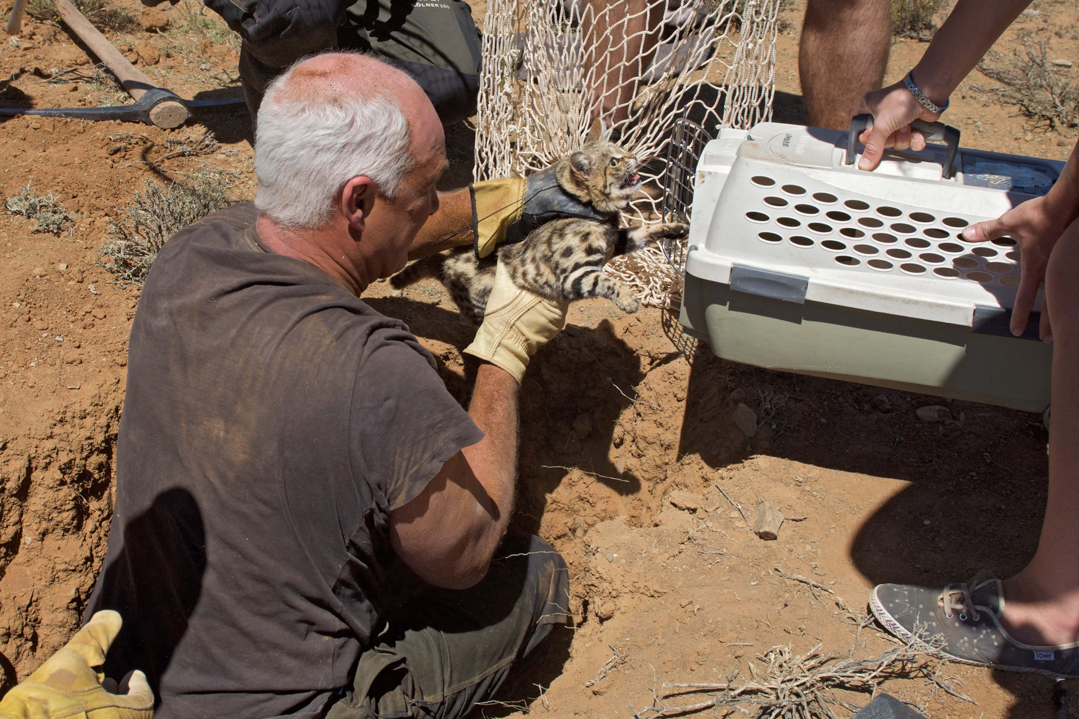 Dr. Alex Sliwa extracting a black-footed cat from an extensive burrow system in order to change her radio collar. Photo by Holly Ganz.