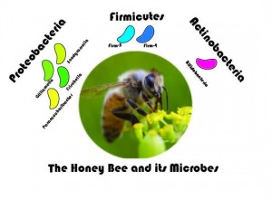 honey_bee_microbes_schematic