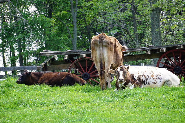 According to the reviews, the Amish and Europeans who live on farms tend to have lower instances of asthma than their urban counterparts. Photo via Flickr under public domain license.
