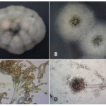 Penicillum and Aspergillus grown from aerosols